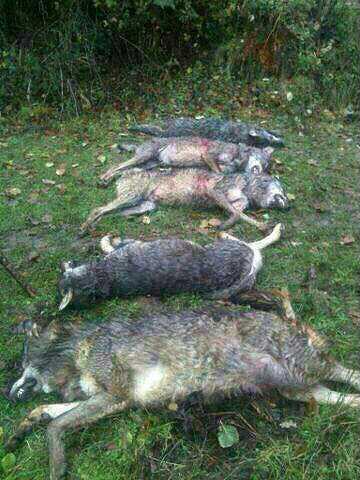 Batida contra los lobos en el monte de Coo, en Cantabria