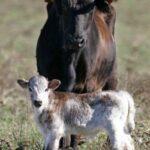 Vacas y toros de lidia
